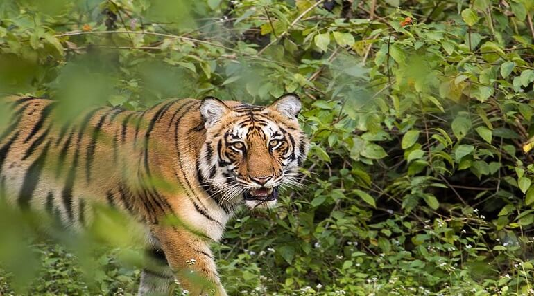 Increasing Population Of Tigers In Jim Corbett National Park