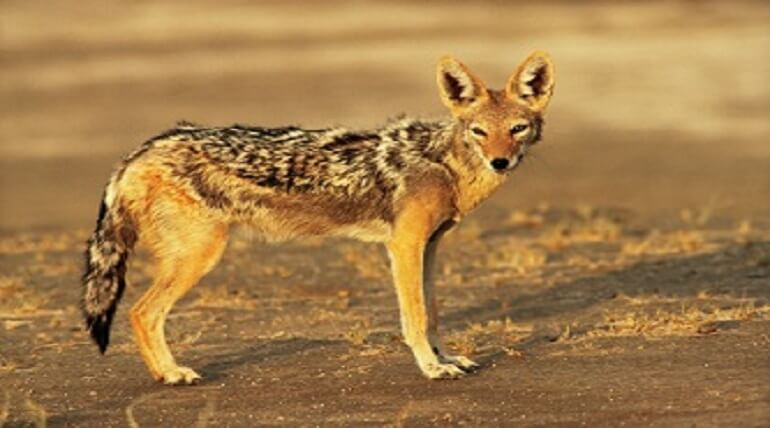 Interesting Facts About Jackal