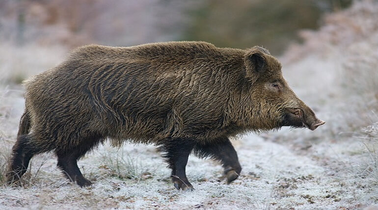 Fact About Wild Boar