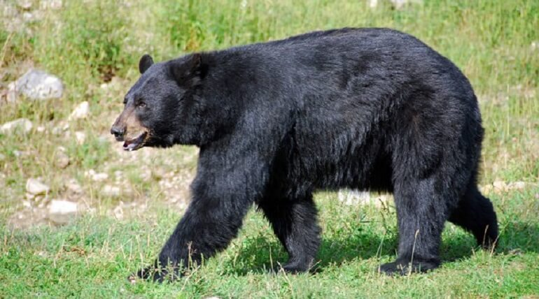 Amazing Facts About Black Bear